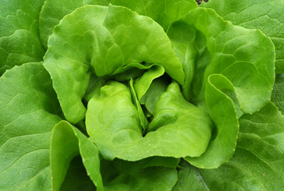 Glorious, green butter lettuce